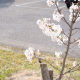 散歩中に撮った桜