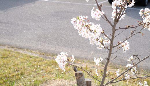 X-Pro2+XF35mmF1.4を持って散歩|桜撮影の失敗からの注意点・コツ